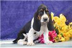 Picture of Julie jz Gentle Healthy Bassett Hound Puppy