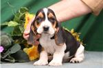 Picture of Ronnie SZ Playful Hunter,Cute Basset Hound Puppy