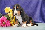 Picture of Cavana jz Gentle Healthy Bassett Hound Puppy