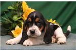 Picture of Ruby SZ Playful Hunter,Cute MaleBasset Hound Puppy