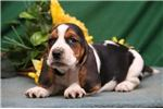 Picture of Lacy SZ Playful Hunter,Cute Basset Hound Puppy