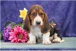 Picture of Hooper jz Gentle Healthy Bassett Hound Puppy