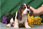 Picture of Snoopy SZ Playful Hunter,Cute Basset Hound Puppy