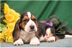 Picture of Blazer SZ Playful Hunter,Cute Basset Hound Puppy