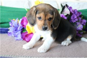 Picture of Billy Beagle