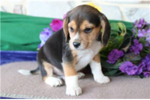 Picture of Bowser Beagle