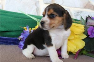 Picture of Blossom Beagle