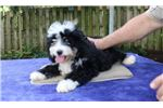 Picture of Gloria Mini Bernadoodle F1B second Generation
