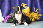 Picture of Popcicle  AM Pure Bred Boston Terrier