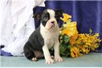 Picture of Pretzel AM Pure Bred Boston Terrier