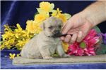 Picture of Pansey AM Well Socialized and Playful Puppy