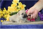 Picture of Rose AM Well Socialized and Playful Puppy