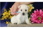 Picture of Snow AM Well Socialized and Playful Puppy