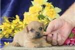 Picture of Petunia AM Well Socialized and Playful Puppy