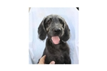 Picture of Clyde #5SM Male Weimardoodle