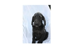 Picture of Ebony #4SM Male Weimardoodle