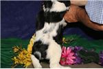 Picture of Misty SS Healthy Baby Springer Spaniel Puppies