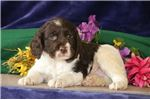 Picture of Ryder MZ Health AKC English Springer Spaniel Puppy