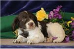 Picture of Dana MZ Health AKC English Springer Spaniel Puppy