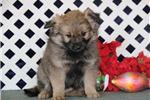 Picture of Joy JZ Sweet Fluffy Eskapoo Puppy