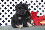 Picture of Dasher JZ Sweet Fluffy Eskapoo Puppy