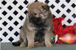Picture of Joy JZ Sweet Fluffy Eskapoo Puppy