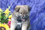 Picture of Millie JZ Playful Eski Poo Mixed Breed  puppy