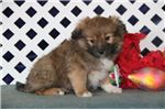 Picture of Jingles JZ Sweet Fluffy Eskapoo Puppy