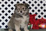 Picture of Dancer EB Eskapoo Sweet Fluffy Puppy