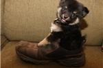 Picture of an Eska-Poo - Eskapoo Puppy