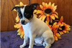 Picture of Spunky AH Healthy & Fine Toiy Fox Terrier  Pup