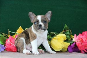 Picture of a Frenchton Puppy