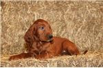 Casie AK Stunning PureBred Red Irish Setter Puppy | Puppy at 10 weeks of age for sale