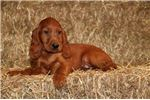 Henry AK Stunning PureBred Red Irish Setter Puppy | Puppy at 10 weeks of age for sale