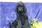 Picture of Paula SS Hot New Designer Puppy IrishSetter-Poodle