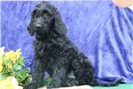 Picture of Lisa SS Hot New Designer Puppy IrishSetter-Poodle