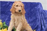 Picture of Davie SS Hot New Designer Puppy IrishSetter-Poodle