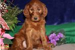 Picture of Carol RS Healthy IrishDoddle Puppy