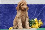 Picture of SkippySS Hot New Designer Puppy IrishSetter-Poodle