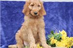 Picture of Lilly SS Hot New Designer Puppy IrishSetter-Poodle