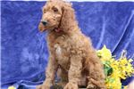 Picture of Sarah SS Hot New Designer Puppy IrishSetter-Poodle