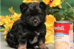 Picture of Tina RH Very small Toy Yorkipom / Chihuahua mix