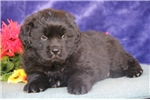 Leo EE AKC Registered Newfie | Puppy at 14 weeks of age for sale