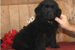 Picture of a Newfoundland Puppy