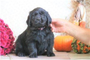 Nora JW | Puppy at 8 weeks of age for sale