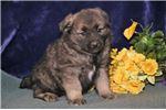 Picture of Reno IP Soft Fluffy Norwegian Elkhound Puppy