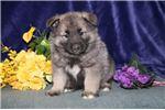 Picture of Denver IP Soft Fluffy Norwegian Elkhound Puppy
