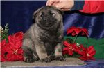 Picture of Yukon LE  Healthy Fluff Ball Ready 1/2/19 Elkhound