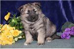 Picture of Cheyenne IP Soft Fluffy Norwegian Elkhound Puppy