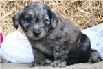 Picture of Dusty CZ JackRussell PomaPoo Pup